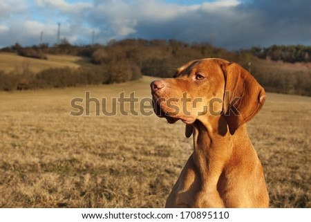 Magyar Viszla head portrait, detail, autumn Time, dog eyes, - stock photo