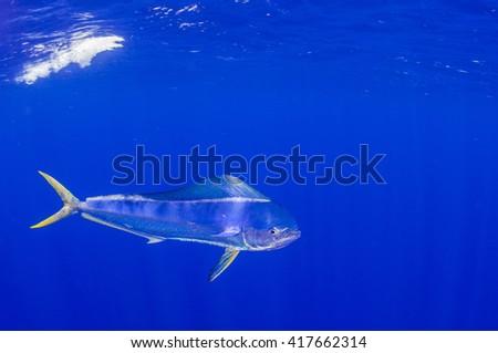 Mahi-Mahi or Dorado AKA dolphin fish in the open ocean. - stock photo