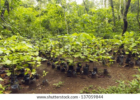 Mahogany seedlings (Swietenia macrophylla) in a tree nursery in the Ecuadorian Amazon - stock photo