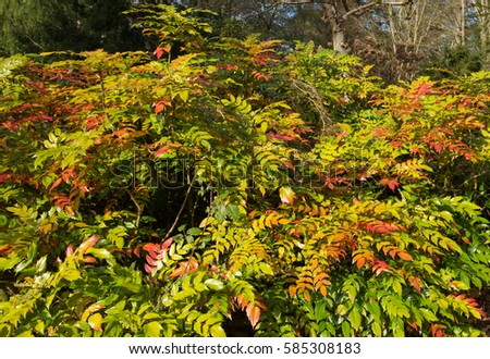 Mahonia japonica stock images royalty free images for Mahonia japonica