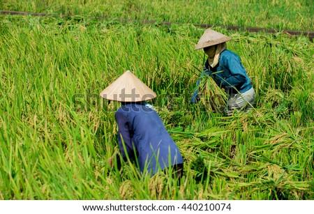 Mai Chau Valley, Hoa Binh, Vietnam - June 18, 2016: Women farmers are harvesting rice in a field in northwestern Vietnam.