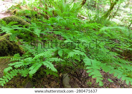 Maidenhair Ferns in Columbia River Gorge National Scenic Forest in Spring