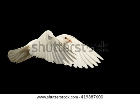 mail white dove flying bird, a symbol of hope, a symbol of peace, biblical history isolated on black - stock photo