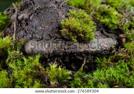 main root of a chinese elm bonsai (moss) - stock photo