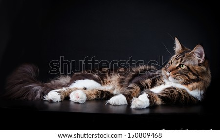 Maine Coon - stock photo