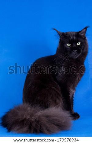 Maine Coon black, isolated chroma key - stock photo