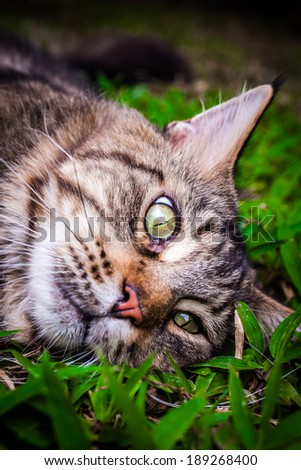Maine Coon black tabby cat with green eye lying on grass - stock photo
