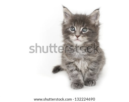 Maine coon blue tabby kitten
