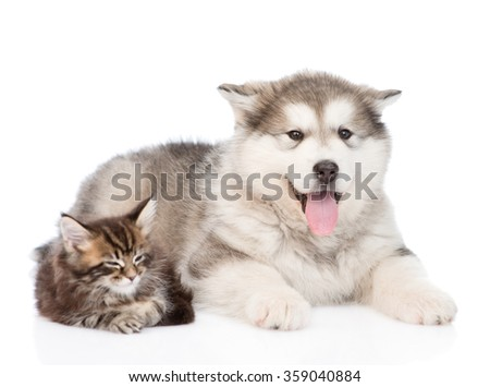 Maine coon cat and alaskan malamute dog together. isolated on white background