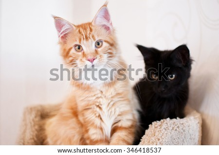 Maine coon cat and black kitten