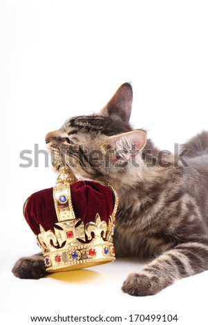 Maine Coon Cat and Crown