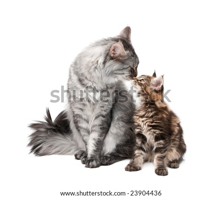 maine coon cat and kitten against white background