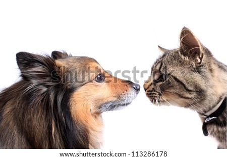 Maine Coon cat and Sheltie dog nose to nose on a white background - stock photo