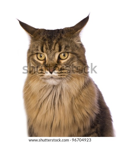 Maine Coon cat angry head shot isolated on white
