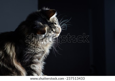 Maine coon cat grey and black portrait moving head