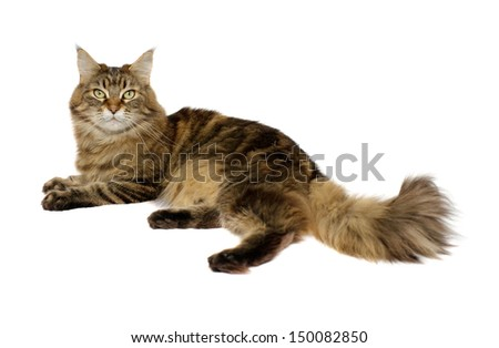 Maine Coon cat isolated on a white background - stock photo