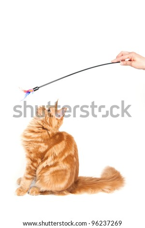 Maine Coon cat looking at a feather toy