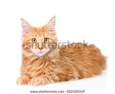 Maine coon cat looking at camera. isolated on white background - stock photo