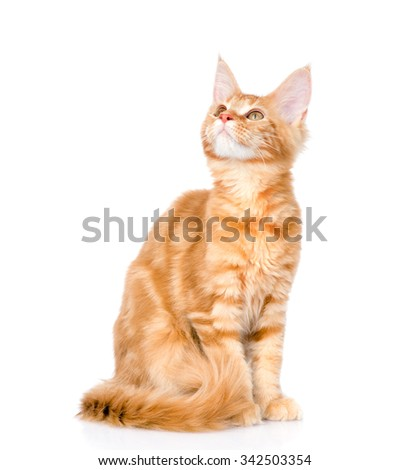 Maine coon cat looking up. isolated on white background - stock photo