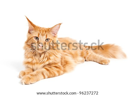 Maine Coon cat lying on white background - stock photo