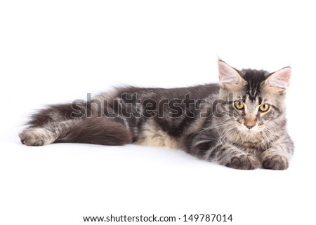 Maine Coon cat, 5 months old, laying in front of white background - stock photo