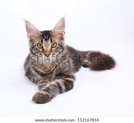 Maine Coon cat, 6 months old, laying in front of white background