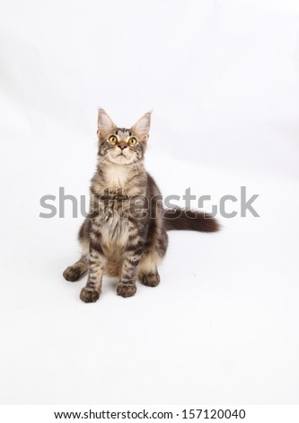 Maine Coon cat, 6 months old, laying in front of white background  - stock photo