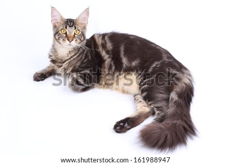 Maine Coon cat, 7 months old, laying in front of white background