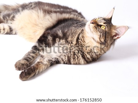Maine Coon cat, 9 months old, laying in front of white background - stock photo