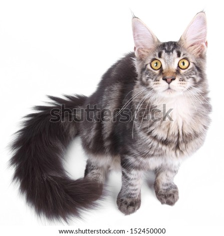 Maine Coon cat, 5 months old, sitting in front of white background - stock photo