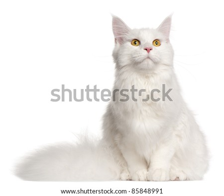 Maine Coon cat, 8 months old, sitting in front of white background