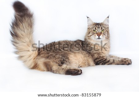 Maine Coon Cat on a white background. - stock photo