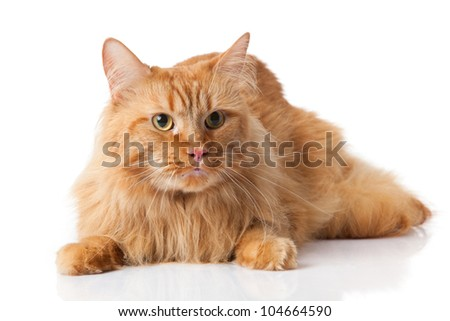 Maine Coon cat on white background. - stock photo