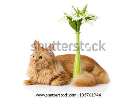 Maine Coon cat on white background. Cat with Flowers - stock photo