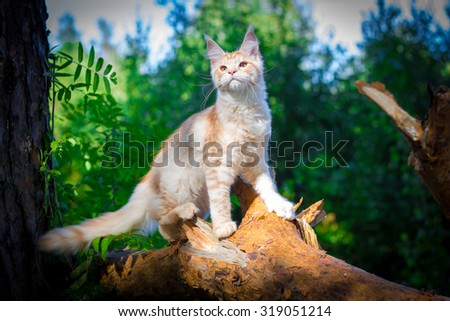 Maine coon cat outside with a curious look on his face - stock photo
