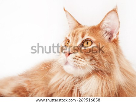 Maine Coon Cat Portrait - stock photo