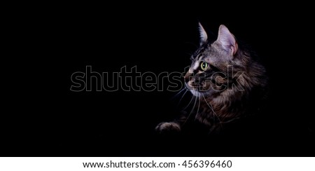 Maine coon cat Portrait, isolated on black