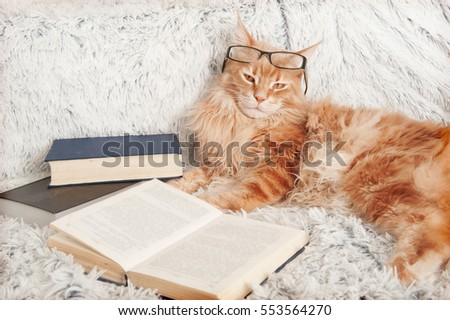 Maine Coon Cat reading a book