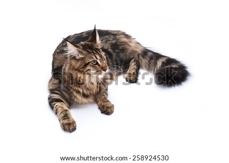 Maine coon cat, sitting and facing, isolated on white.