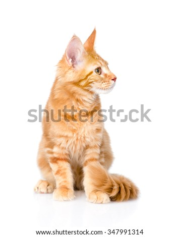 maine coon cat sitting and looking away. isolated on white background - stock photo