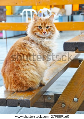 Maine Coon cat sitting on a bench in a cafe and asks a meal - stock photo
