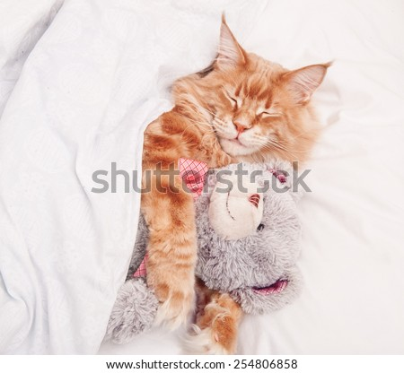 Maine Coon cat sleeping with teddy bear - stock photo