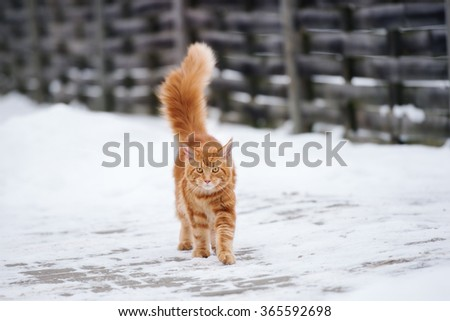 maine coon cat walking outdoors in winter - stock photo