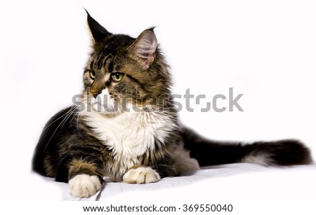 Maine coon cat. White background. Studio shot - stock photo