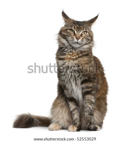 Maine coon cat, 3 years old, sitting in front of white background