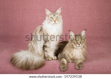 Maine Coon cats lying down on mauve dusty pink background