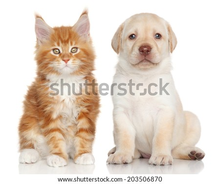 Maine Coon kitten and Labrador puppy on white background - stock photo