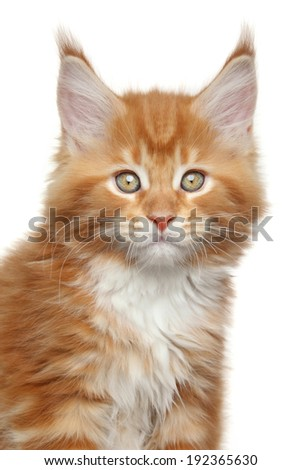 Maine Coon kitten. Close-up portrait on white background - stock photo