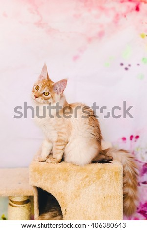 Maine coon kitten closeup portrait. Red silver tabby cat sitting on natural background with wary ears. Orange color curious pet.