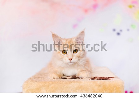 Maine coon kitten closeup portrait. Red tabby bi-color cat looking threw the hole in cat house. Light orange color curious pet.